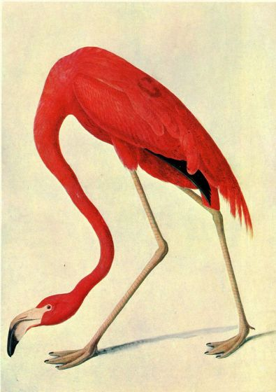 Audubon, John James: American Flamingo. Ornithology Fine Art Print/Poster. Sizes: A4/A3/A2/A1 (00660)